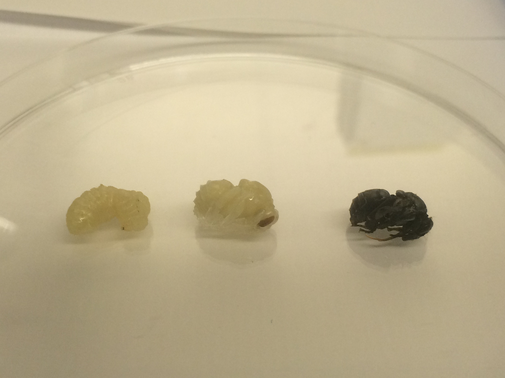 Larva, pupa and near-adult Bombus impatiens