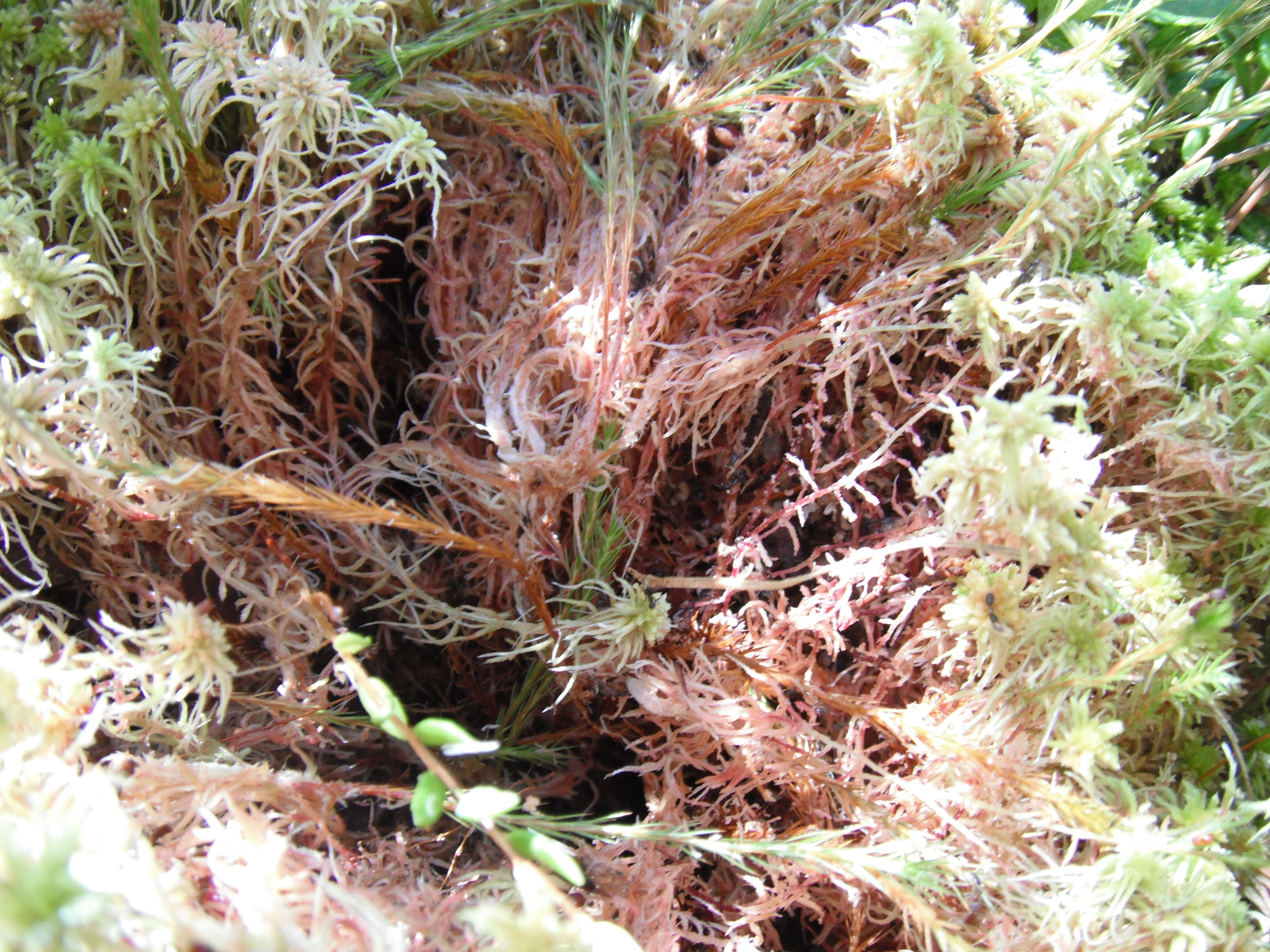 In the wild, cranberry rhizomes grow deep within sphagnum moss